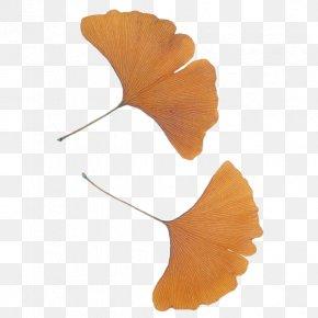 Apricot Plant - Ginkgo Biloba Leaf Plant Ginkgoaceae Tree PNG