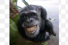 Chimpanzee - Common Chimpanzee Primate Ape Gorilla Bonobo PNG