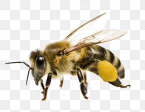 Bumble Bee - Honey Bee Bee Pollen Yellowjacket PNG