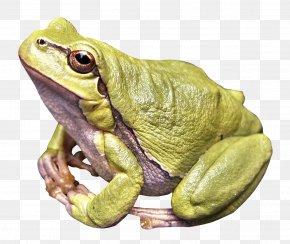 Frog - Frog Amphibian PNG
