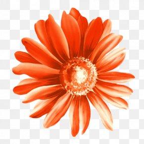 Calendula Officinalis Red Chrysanthemum Illustration - Paper Flower PNG
