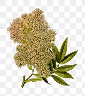 Seed-plants - East Africa Rosaceae Kxf6hlers Medicinal Plants Hagenia Genus PNG