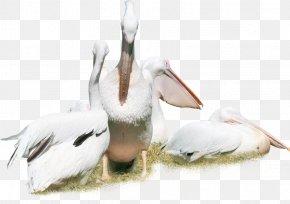 White Swan - Bird Pelican Duck Crane Animal PNG