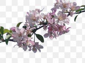 Cherry Blossom File - National Cherry Blossom Festival PNG