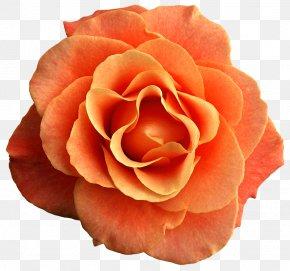 Orange Flower - Rose Orange Flower Clip Art PNG