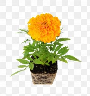 Potted Marigolds - Mexican Marigold Common Daisy Flower Transvaal Daisy Chrysanthemum PNG