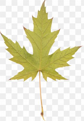 Maple Leaf - Silver Maple Red Maple Sugar Maple Maple Leaf PNG