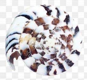 Sea Shell - Sea Urchin Seashell Clam PNG