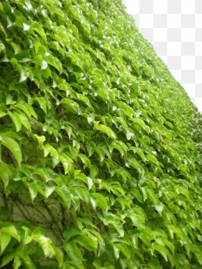Green Wall Tiger - Parthenocissus Tricuspidata Virginia Creeper Vine Greening Plant PNG