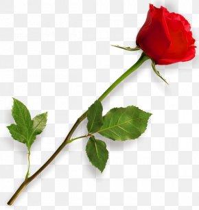 Rose HD - Rose Clip Art PNG