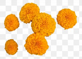 Orange Marigold - Calendula Officinalis Mexican Marigold Flower PNG