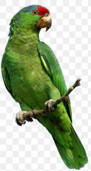 Green Parrot Images, Free Download - Parrot Red-crowned Amazon Bird Clip Art PNG