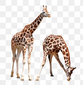 Two Giraffes - Giraffe Lynx Animal Wildlife PNG