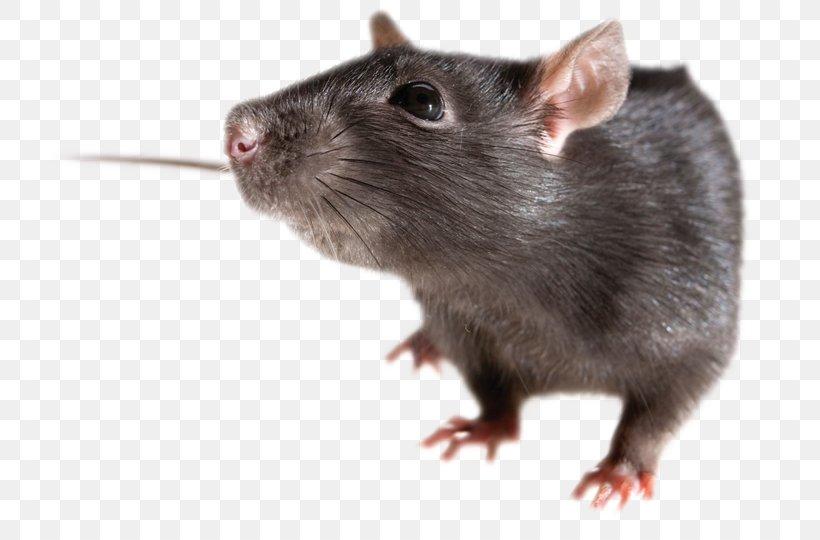 Brown Rat Mouse Rodent Black Rat, PNG, 768x540px, Brown Rat, Black Rat, Display Resolution, Dormouse, Fauna Download Free
