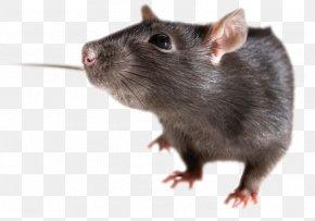 Mouse, Rat Image - Brown Rat Mouse Rodent Black Rat PNG