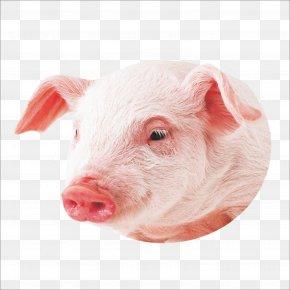 Pig - Co Pig Miniature Pig Wallpaper PNG