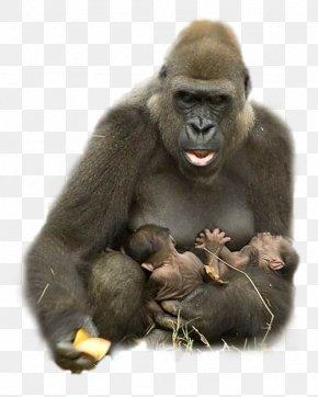 Gorilla Clipart - Gorilla Animal Ape Harambe Hug PNG