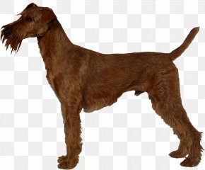 Irish - Irish Terrier Airedale Terrier Jagdterrier Chilean Terrier Welsh Terrier PNG