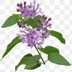 Lilac - Lilac Violet Syzygium Aromaticum Purple PNG