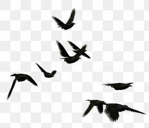 Bird - Bird Common Raven Crow PNG