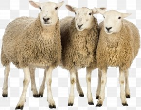 Sheeps Image - Sheep Computer File PNG