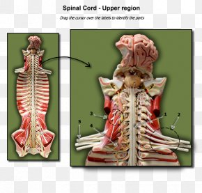Spinal Cord - Anatomy Biology Spinal Cord Vertebral Column Physiology PNG