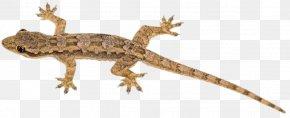 Lizard - Lizard Reptile Chameleons Gecko Blue-tongued Skink PNG