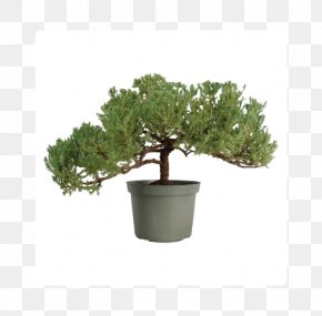 Tree - Chinese Sweet Plum Bonsai Styles Ficus Retusa Juniperus Chinensis 'Shimpaku' PNG
