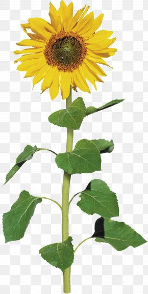 Sunflower - Common Sunflower Archive File Clip Art PNG