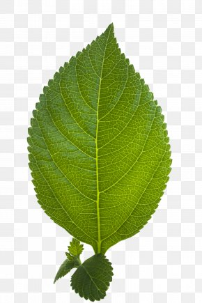 Leaf HD - Display Resolution Download PNG