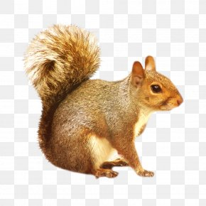 Squirrel - Eastern Gray Squirrel Rodent Clip Art PNG