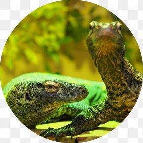 Komodo - Reptile Chameleons Lizard Iguanomorpha Terrestrial Animal PNG