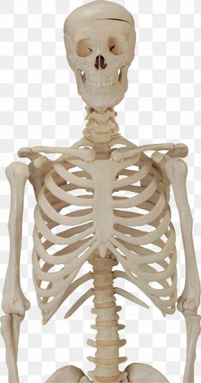 Skeleton Image - Human Skeleton Clip Art PNG