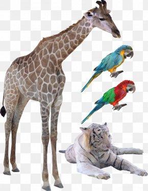 Giraffe Vector Birds - Northern Giraffe Euclidean Vector Illustration PNG