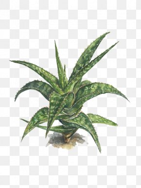 Effects Of Aloe - Watercolor Painting Aloe Succulent Plant Illustration PNG