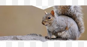 Squirrel - Fox Squirrel Westerville Eastern Gray Squirrel Red Squirrel PNG