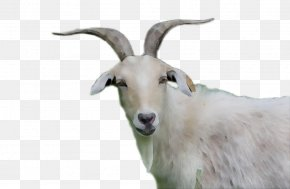 Goat Sheep Clip Art Cattle PNG