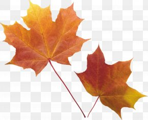 Autumn Leaf - Red Maple Autumn Leaf Color Maple Leaf PNG