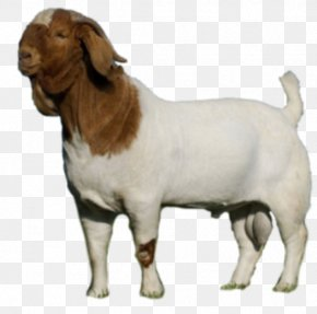 Goat - Boer Goat Cattle Caprinae Livestock Dog PNG