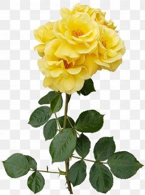 Yellow Rose Transparent Image - Garden Roses Flower Centifolia Roses Floristry PNG
