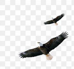 Eagle - Bald Eagle Hawk Download PNG