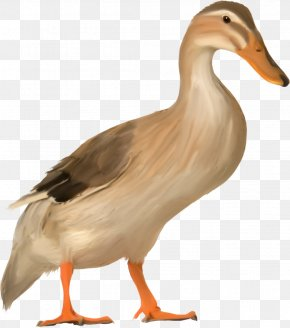 Duck - Duck North Garden, Virginia Cygnini Bird PNG