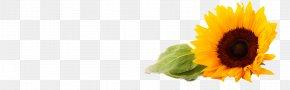 Sunflower - Common Sunflower Gratis PNG