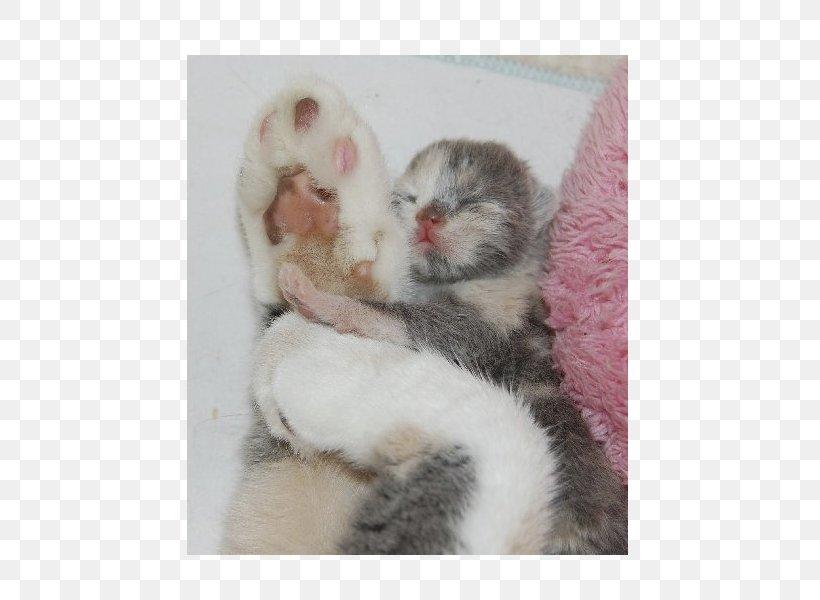 Kitten Whiskers Ferret Fur Paw, PNG, 600x600px, Kitten, Carnivoran, Cat, Cat Like Mammal, Fauna Download Free