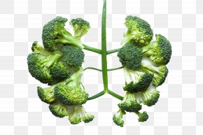 Healthy Vegetable Broccoli - Lung Health Vegetable Broccoli Disease PNG
