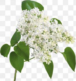 Lilac Flower - Cut Flowers Rose Lilac Desktop Wallpaper PNG