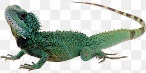 Lizard - Lizard Komodo Dragon Reptile PNG