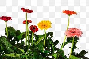 Gerbera Planting Base - Gerbera Jamesonii Common Daisy Chrysanthemum Flower PNG