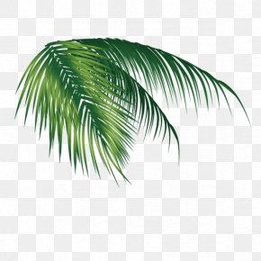 Coconut Leaves - Coconut Leaf PNG