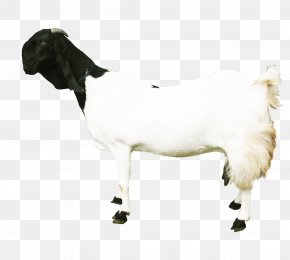 Sheep - Sheep Jamnapari Goat Cattle Goat Milk Ahuntz PNG